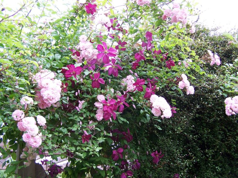 Clematidi, ammiriamole al Chelsea Flower Show di Londra!