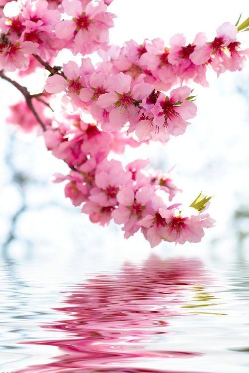 Dove ammirare i ciliegi in fiore: National Cherry Blossom Festival 2017