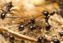 rimedi-naturali-contro-formiche