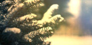 Come scegliere un albero di natale
